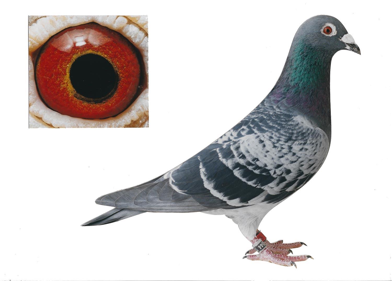 Den Engels 1 - Top Pigeon - De Belser Johan