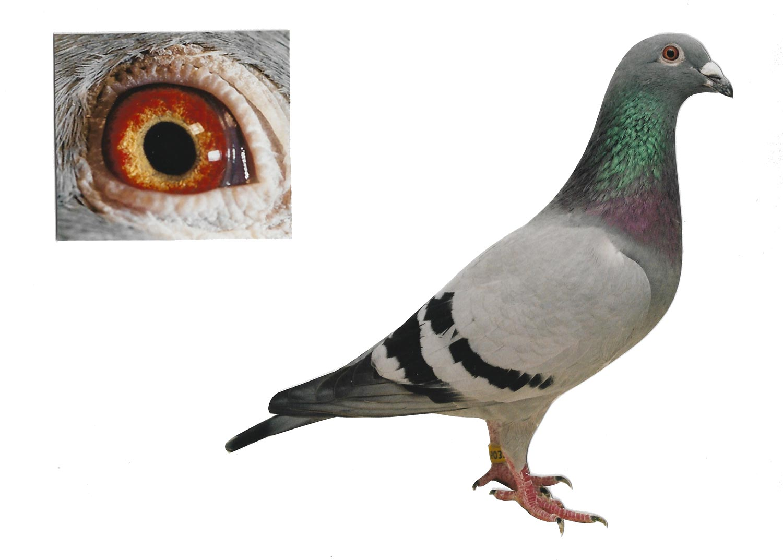 Lady Kaasboer - Top Pigeon - De Belser Johan
