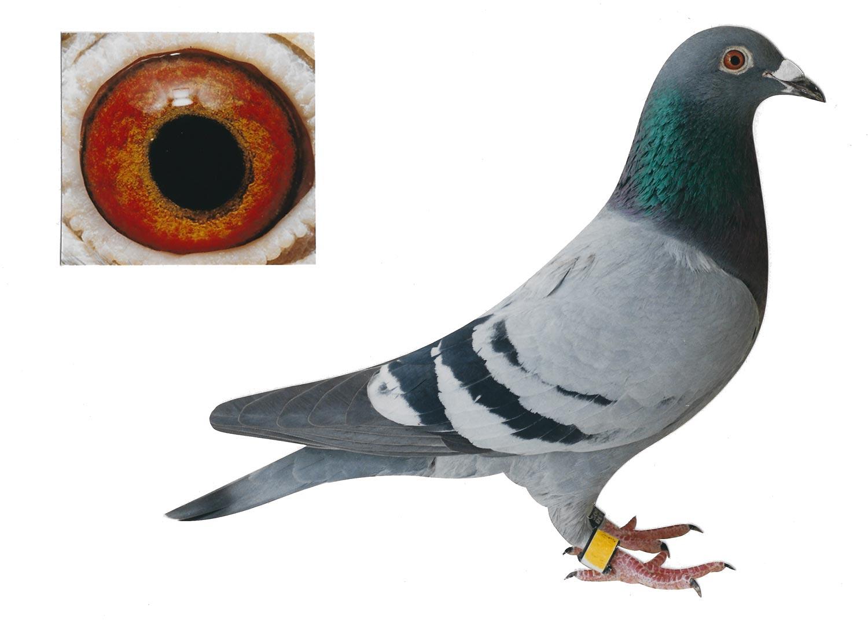 Miss Flanders - Top Pigeon - De Belser Johan