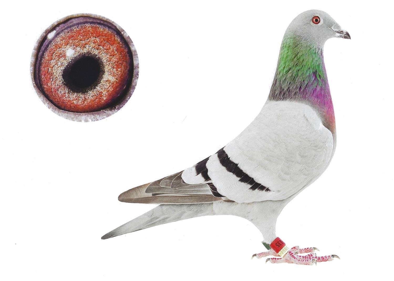Victoria - Top Pigeon - De Belser Johan