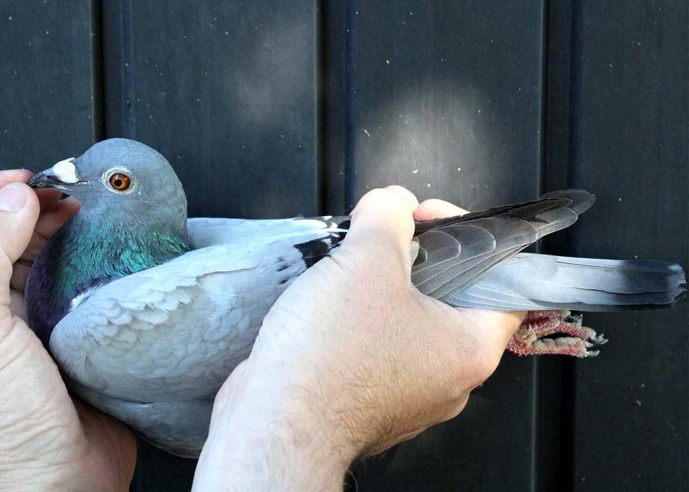 BE 19-6035001 - Het 001 De Belser Racing Pigeons
