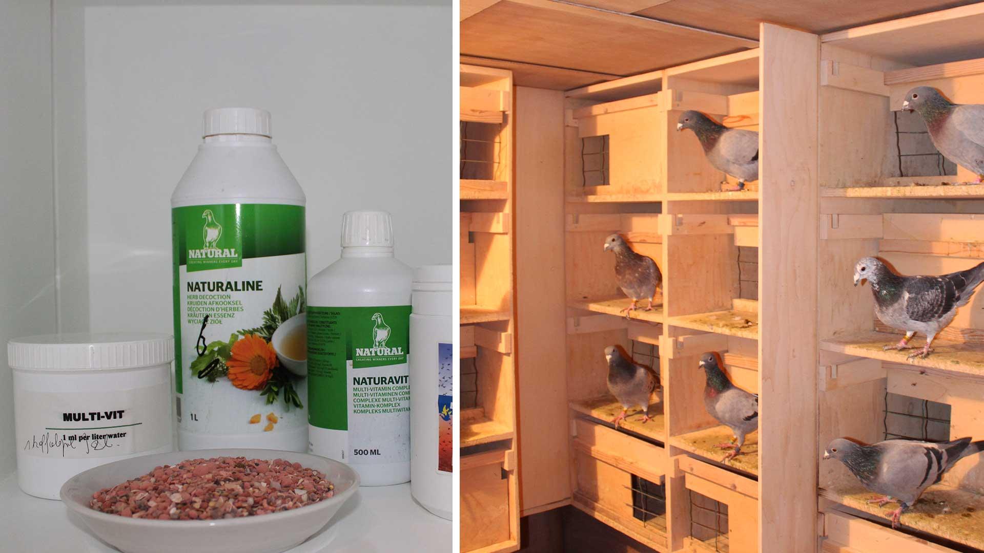 Het fokken van duiven, de voorbereiding en het paren van duiven De Belser Johan Racing Pigeons Belgium