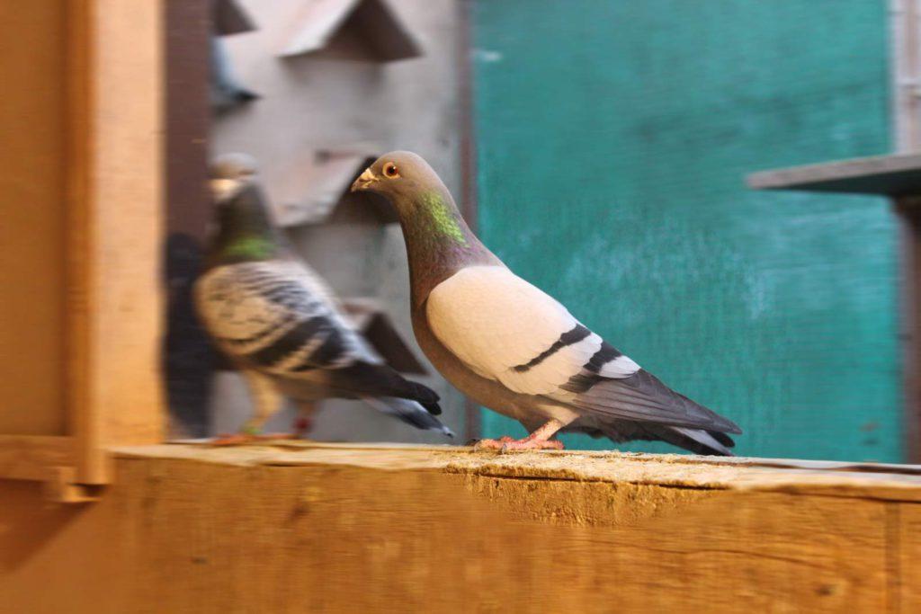 De Belser Johan Article Preparations Breeding Season pigeon