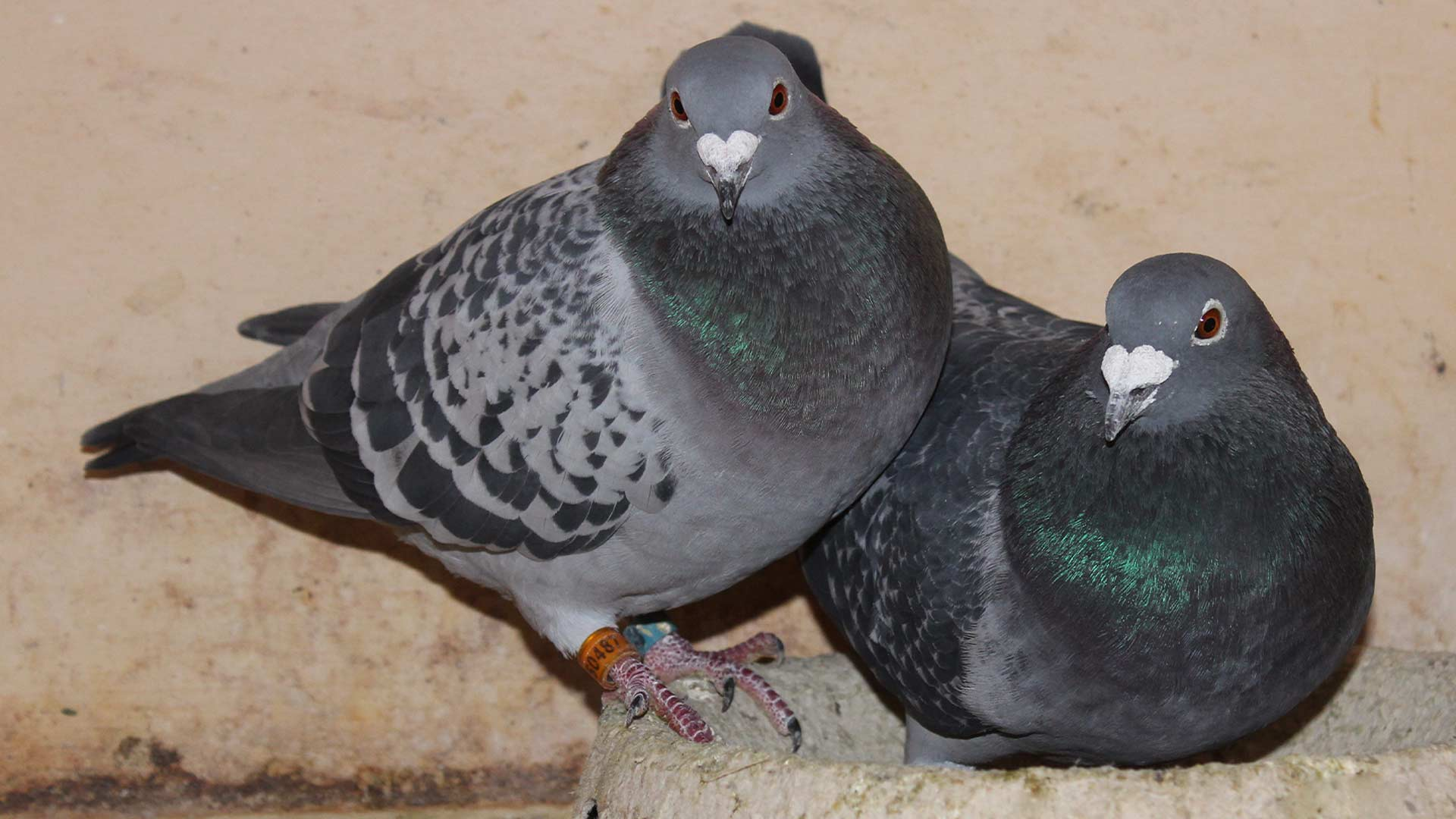 Breeding of pigeons, how to De Belser Johan Racing Pigeons Belgium