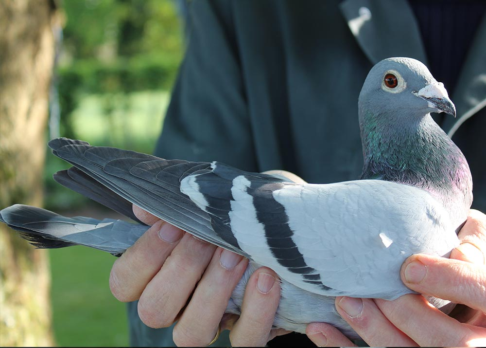 "BE 12-6023685 ""Adelheid"" - De Belser Racing Pigeons Belgium"