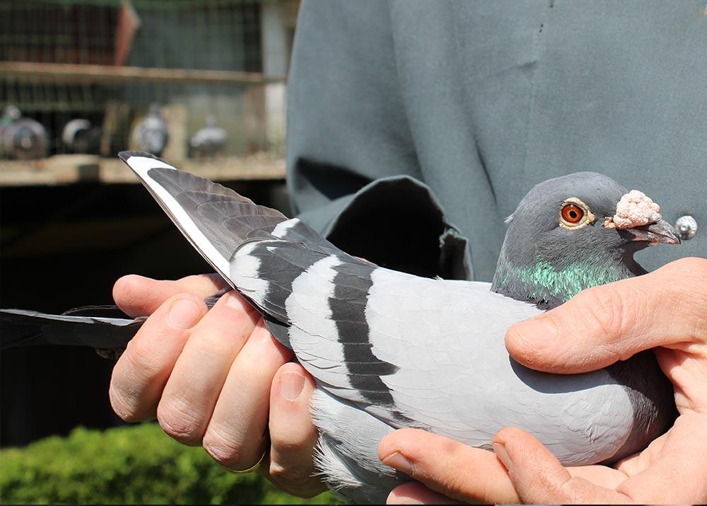 """BE 13-6060405 """"Blue"""" - De Belser Racing Pigeons Belgium"""