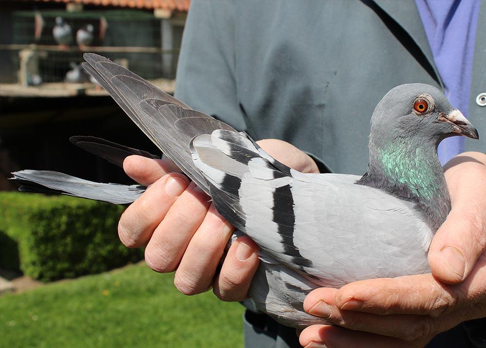"""BE 14-6070473 """"Dochter TORRE"""" - De Belser Racing Pigeons Belgium"""