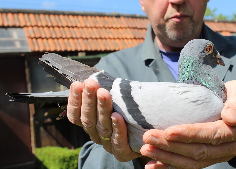 """BE 14-6070491 """"Dochter Torre (493) - De Belser Racing Pigeons Belgium"""