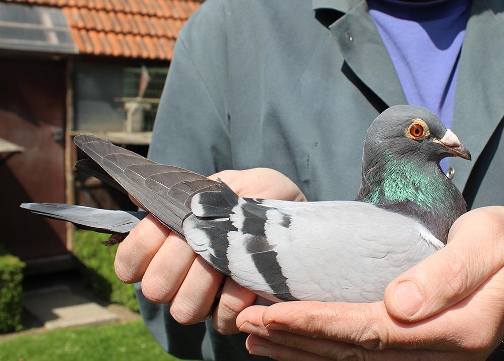 """BE 14-6070492 """"Souke"""" - De Belser Racing Pigeons Belgium"""