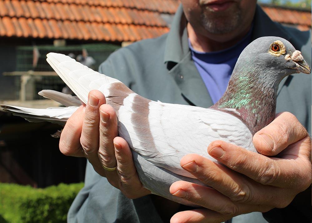 """BE 15-6034016 """"Will"""" - De Belser Racing Pigeons Belgium"""