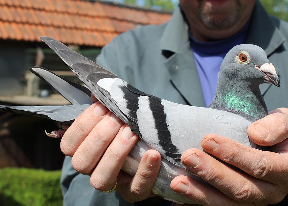 """BE 15-6046492 """"Crossbreed De Belser - Van De Wouwer"""" - De Belser Racing Pigeons Belgium"""