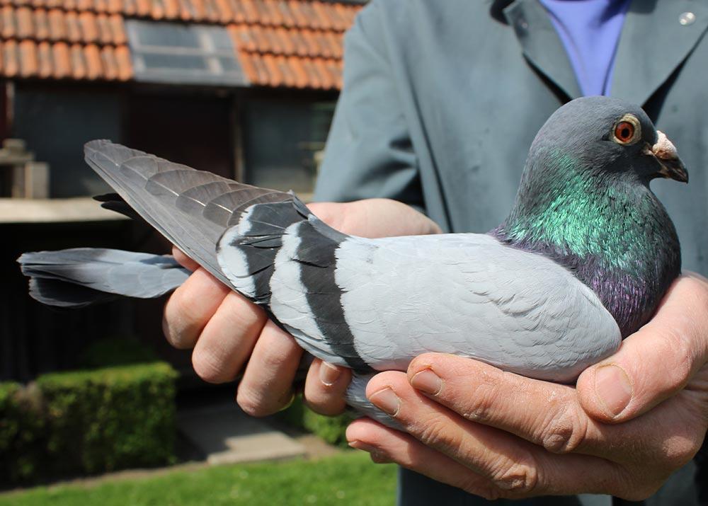 BE 16-6021406 - De Belser Racing Pigeons Belgium